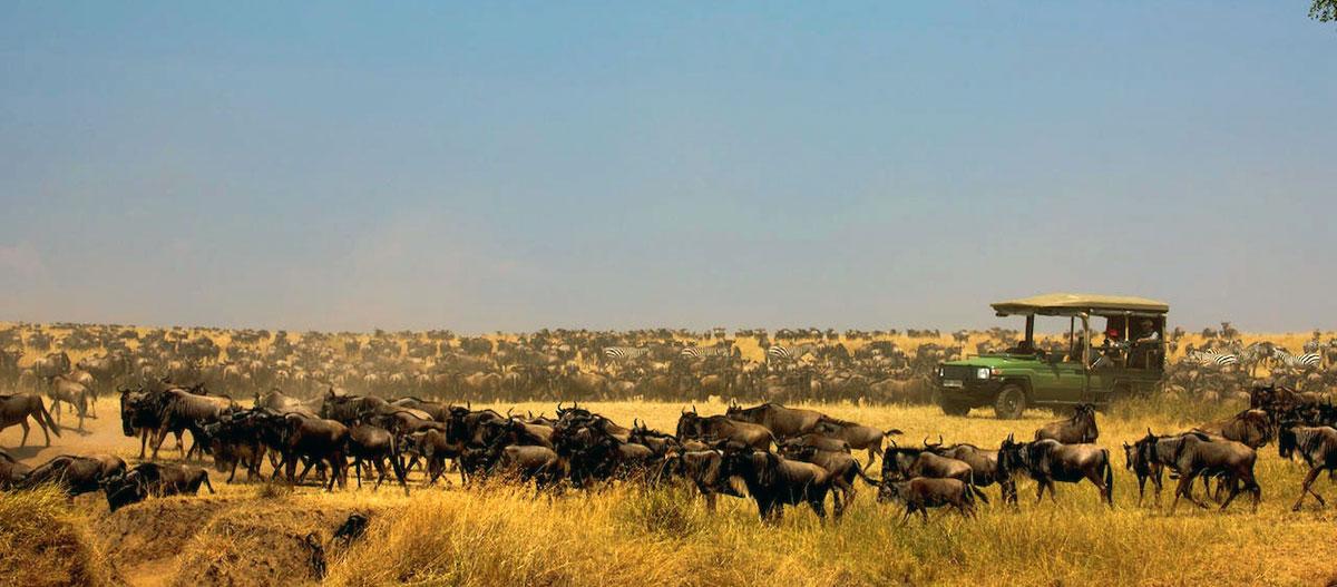 Wildebeest migration image